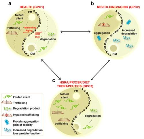Yin-Yang of proteome balance