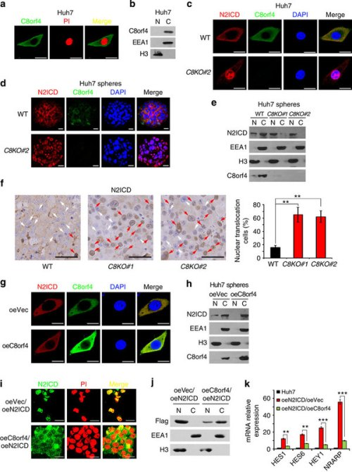 C8orf4 deletion causes the nuclear translocation of N2ICD