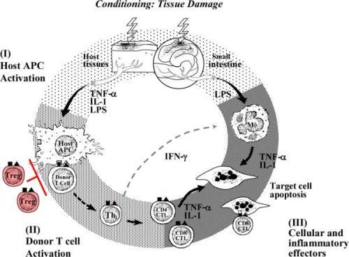 GVHD pathophysiology nihms-115970-f0003