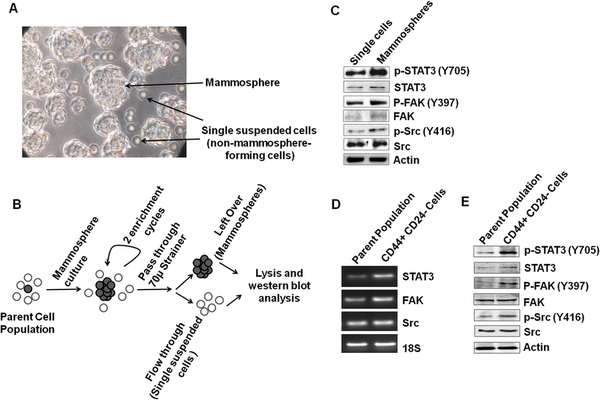 STAT3, FAK and Src are differentially activated and expressed in breast cancer cells.
