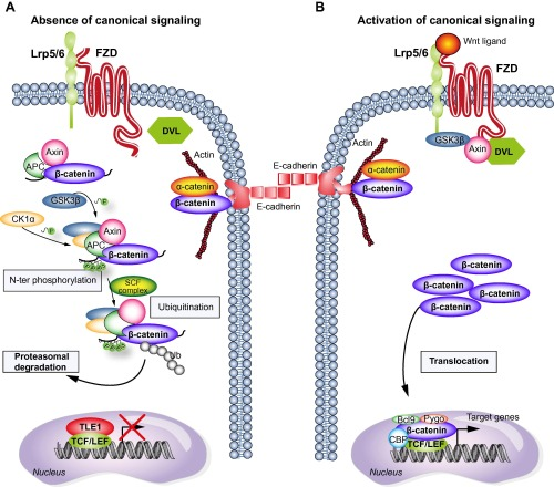 Canonical Wnt-FZD signaling pathway gr1_lrg