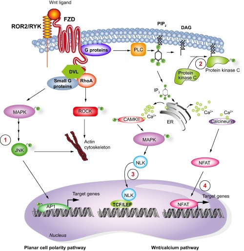 Non-canonical Wnt-FZD signaling pathway gr2_lrg