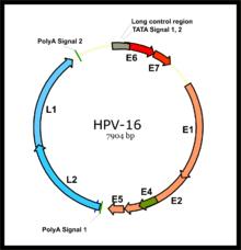 papilloma virus con saliva)