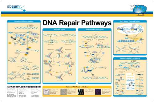 DNA_repair_pathways