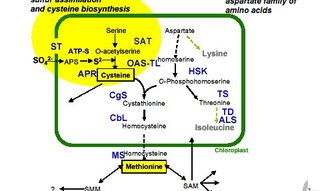 Methionine is synthesised from cysteine and phosphohomoserine