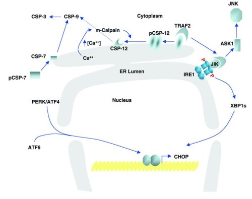 Signaling UPR-mediated cell death