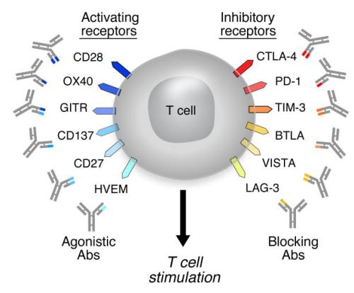 T cell targets for immunoregulatory antibody therapy