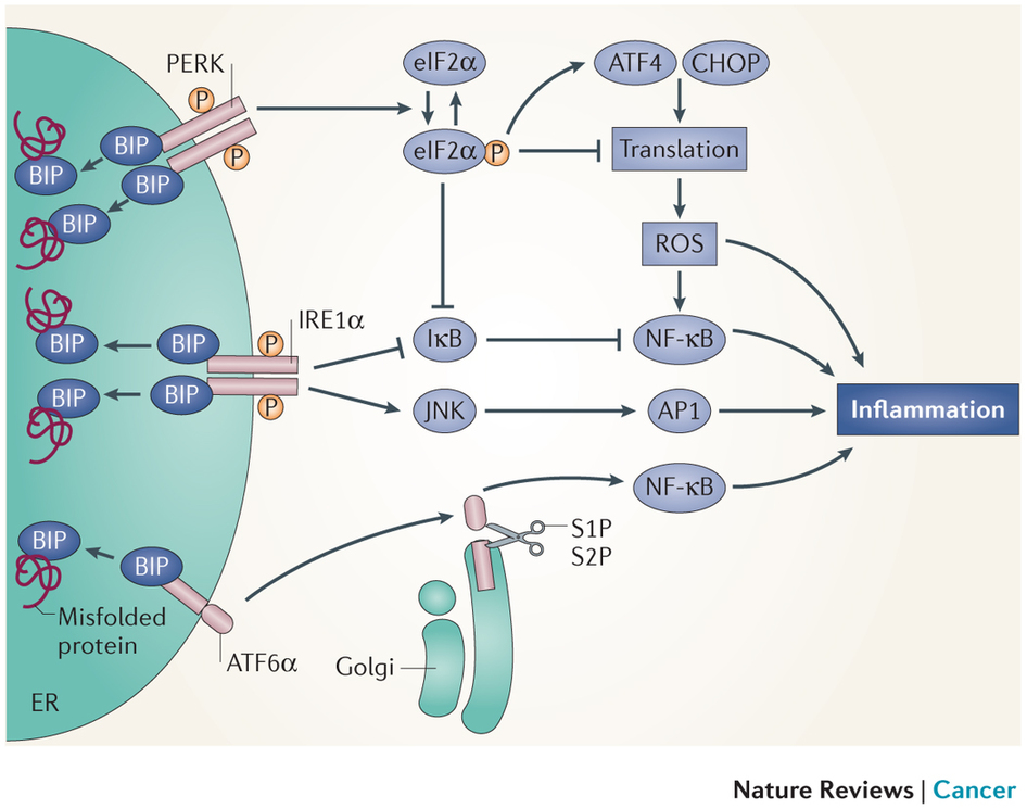 (UPR) and inflammation