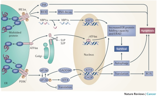 (UPR) signalling pathways