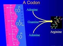 A-CODON