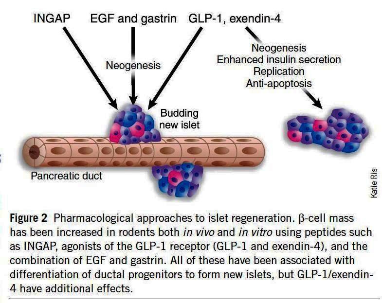pharmacoogicalapproaches to islet regeneration