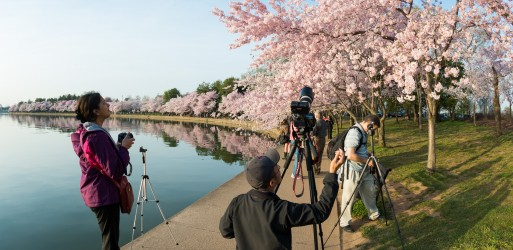 Cherry-Blossoms-Washington-DC-April-09-2013-11-513x250