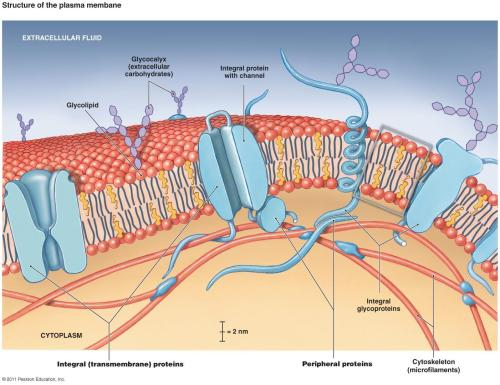 glycocalyx-145E1F0C801699F8CFE